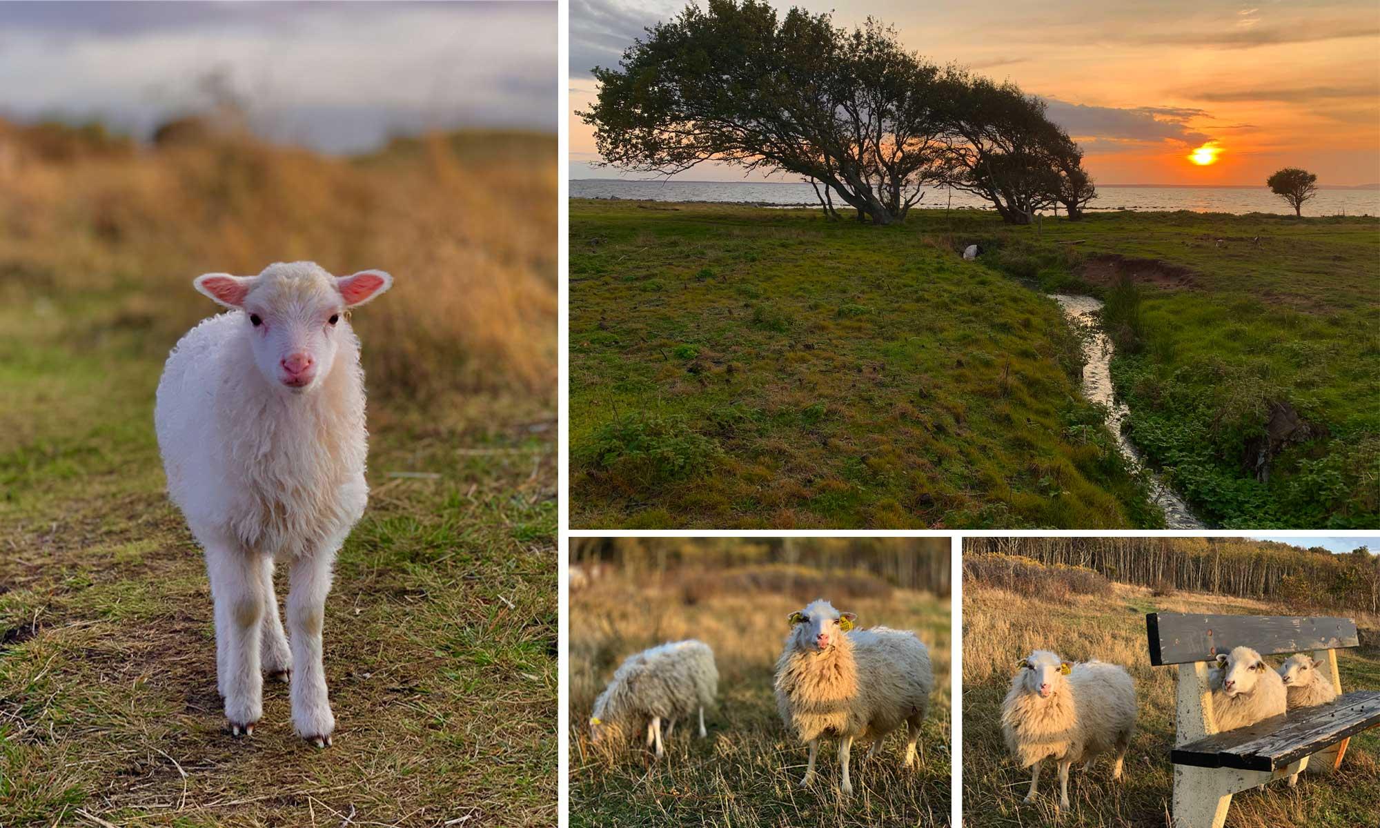sheep and lamb at Magnarp Strand