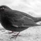 Blackbird Vejbystrand