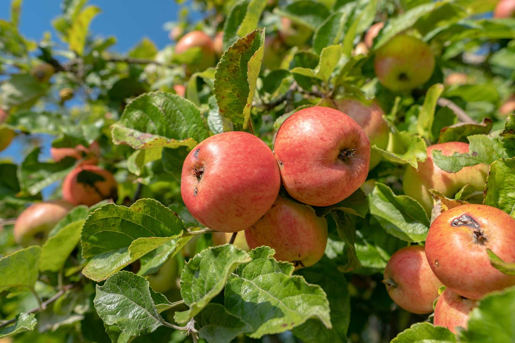 New Apples